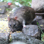 A visit from Ratty. thumbnail