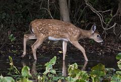 101318166545asmweb (ecwillet) Tags: wildwoodparkharrisburgpa nikon ecwillet ericwillet deer nikond800e nikon200500f56