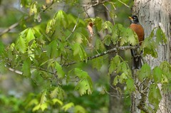 2018 05 10 029 Gassaway, WV (Mark Baker.) Tags: 2018 america baker east mark may north us usa virginia wv west american bird day outdoor photo photograph picsmark robin rural spring states united wildlife