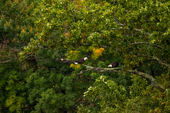 7K8A8067 (rpealit) Tags: scenery wildlife nature state line lookout bald eagle bird
