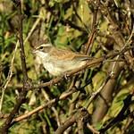 Black Throated Sparrow-juv-9918- (1) thumbnail