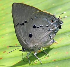 Parrhasius polibetes (hippobosca) Tags: parrhasiuspolibetes lepidoptera lycaenidae butterfly hairstreak peru insect macro