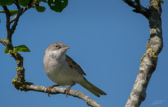 Common Whitethroat (Jongejan) Tags: commonwhitethroat grasmus bird animal nature wildlife outdoor outside leafs tree sky