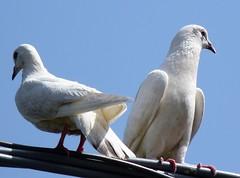 Colombi (Luigi Strano) Tags: colombi pigeons uccelli birds animali animals