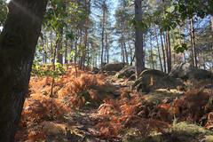 Forêt de Fontainebleau (Weingarten) Tags: francia frankreich france îledefrance seineetmarne 77 77300 fontainebleau randonnée trekking wanderung forêt forêtdefontainebleau bois wald forest wood bosco autunno automne automn fall herbst
