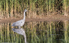 9Q6A5418 (2) (Alinbidford) Tags: alancurtis brandonmarsh greyheron nature wildbirds wildlife