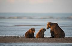 Early morning bears (WhiteEye2) Tags: cookinlet lakeclarknationalparkandpreserve alaska wildlife nature brownbears cubs bear wild