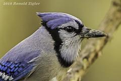 Blue Jay  Portrait IMG_2754 (ronzigler) Tags: blue jay songbird wildlife nature birdwatcher avian bird