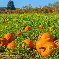 Schaffner Farms, Montesano, Washington (rebeccabphotos.com) Tags: pumpkin patch washington washingtonphotography agriculture october fall farm nikon nikond800 rebeccabphotos colorful visitwashington