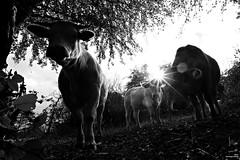 Les silhouettes (Un jour en France) Tags: monochrome vache nature silhouette contrejour canoneos6dmarkii canonef1635mmf28liiusm noiretblancfrance noiretblanc yourbestoftoday