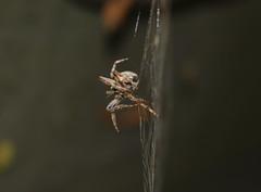 Nutritional Balance (Robin Shepperson) Tags: spider moth web predator bug eat eating balance angle berlin germany d3400 nikon legs nature wildlife night bokeh orange orbweaver