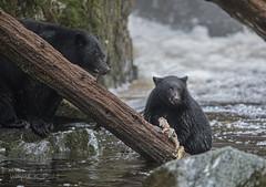 ND5_3879 Mom Watching Closely as... (Wayne Duke 76) Tags: river blackbear cub fur salmon mammal sowcub