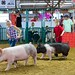 4-H kids demonstrate how well they can control their animals at the Waterford Community Fair