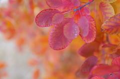 Rusty Symphony (Baubec Izzet) Tags: baubecizzet pentax bokeh autumn leaves nature flickrunitedaward