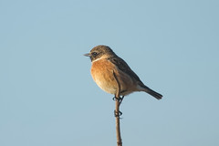 STONECHAT (_jypictures) Tags: animalphotography animals animal animalplanet canon canon7d canonphotography birdwatching birdingphotography birding bird birds birdphotography birders birdofprey photography pictures stonechat