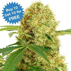 white-widow-marijuana-seeds-4_large (Watcher1999) Tags: white widow cookies cannabis medical marijuana california jamaica seeds growing strain plant weed weeds smoking ganja legalize it egalize reggae splif