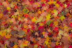 Maple mosaic (snowyturner) Tags: maple leaves sycamore foliage autumn ontario niagara abstract naturist