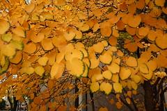 Green-edged leaves. (bkkay1) Tags: winner