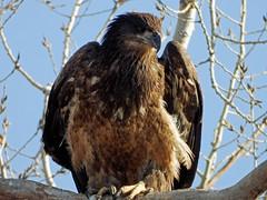 DSCN1105 immature eagle (starc283) Tags: bird birding nature wildlife starc283 eagle golden raptor prey natures finest watcher animal people photo naturewatcher naturesfinest flickr flicker