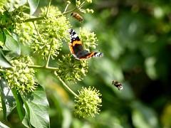 Summ summ summ... (BrigitteE1) Tags: bees butterfly ivy insect summer summsummsumm nektar nectar efeu blüten blossoms efeublüten ivyblossoms