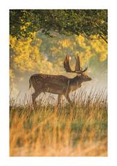 Autumn Stalker (Vemsteroo) Tags: deer stag buck regal wildlife autumn sunrise morning mist colourful majestic reddeer canon 5d mkii 100400mm fog dawn light warwickshire nationaltrust outdoors wild nature