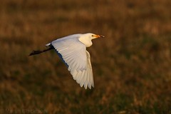 Cattle Egret in-flight 119434 (wildlifetog) Tags: canon cattle england european eos7dmkii egret egretta blackmore britishisles britain bird birds british brading mbiow martin marsh isleofwight uk wild wildlife nature inflight flying flight rspb
