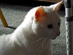 Peaches. (dccradio) Tags: lumberton nc northcarolina robesoncounty indoor indoors inside cat meow feline animal domesticcat pet furry whiskers kitty carpet shadow september monday morning goodmorning earlyfall earlyautumn latesummer walker adjustable nikon coolpix l340 bridgecamera ears eyes nose mouth