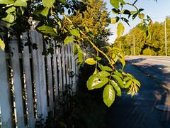 20180924 Rosor i morgon solen (Sina Farhat) Tags: billdal hallandcounty sweden se roses rosor rain regn höst autumn fall sunny soligt morning morgon huaweip9lite mobile raw lightroomccclassic