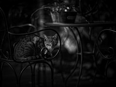 The Neighbours' Cat (Fouquier ॐ) Tags: cat pet chair curves monochrome blackandwhite luminar canonef85mmf12liiusm canoneos5dmarkii
