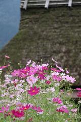 Cosmos (yukky89_yamashita) Tags: 京都 美山 美山かやぶきの里 南丹市 kyoto japan flowers cosmos miyama nantan autumn