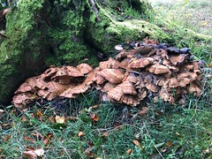 Haddo Country Park - Aberdeen Scotland - 3/10/18 (DanoAberdeen) Tags: fungi wildmushrooms haddohouse countryside countrypark countrywalk outdoors autumn winter summer spring 2018 danoaberdeen danophotography freshair historicscotland historicenvironmentscotland history aberdeen aberdeenscotland bonnyscotland visitscotland visitaberdeen abdn abz iphone iphone8plus trees woods forest naturewalk countrysidewalk naturereserve haddocountrypark preservation conservation scottish gold scottishwilderness wilderness aged wet candid amateur formantine woodlands methlick highlands canmore green ramblers walkers dreamscape nature ancient climate