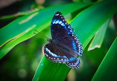 Blue wing beauty (silverwine) Tags: butterfly blue insect beauty wildlife australia