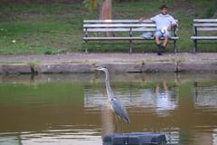 Great Blue Heron - watched (-SOLO--) Tags: humansandbirds flickrfridays blueheron pond park bench