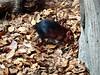 rotterdam_7_132 (OurTravelPics.com) Tags: rotterdam black rufous elephant shrew africa area diergaarde blijdorp zoo