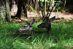 Deer Chilling (wadehampton23) Tags: johnchesnutpark deer animals florida