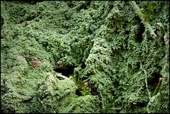 Lichen (Jonas Thomén) Tags: lavar lichen lav macro makro närbild closeup pineneedle barr green grön skog forest wood focusstacked