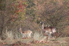 Autumn deer (Alex Verweij) Tags: female deer damherten herten dames duinen herfst autumn bronst 200mm alexverweij canon 5d markiii nieuwsgierig wild natuur nature
