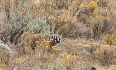 Sort of blending in (ChicagoBob46) Tags: badger yellowstone yellowstonenationalpark nature wildlife naturethroughthelens coth ngc coth5 npc
