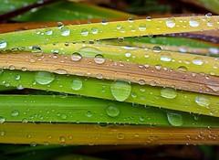 rain drops (majka44) Tags: rain droplet drops 2018 light mygarden green grass macro macroword nature reflection