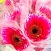 Pink gerbera flowers