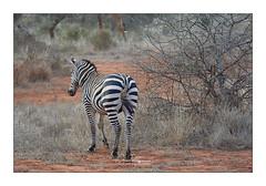 Zèbre Taita Hills Kenya (Claire PARMEGGIANI Photos) Tags: africa africangallery africanlife africanwildlife eastafrica gamedrive kenya safari tsavo wildlife wildafrica zebra