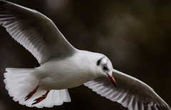 a Seagull flying : Zoom++++ (Franck Zumella) Tags: bird flight bif oiseau vol mouette gull flying sony a7s a7 tamron 150600 nature wildlife white blanc voler wing wings aile ailes seagull diagonale diagonal composition
