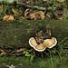 MtStH_fungus