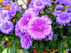 Purple flower (feel_likeyoudo) Tags: flower purple nature natura kwiaty fioletowy