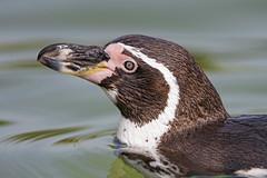 Close penguin (Tambako the Jaguar) Tags: penguin humboldt bird black brown close profile portrait swimming water surface kinderzoo zoo knie rapperswil switzerland nikon d5