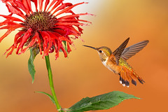 Rufous Hummingbird with the Bee Balm (flower) (Eric Gofreed) Tags: arizona hummingbird multiflashphotography mybackyard rufoushummingbird sedona