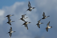 K32P6314c Black-tailed Godwit, RSPB Leighton Moss, September 2018 (bobchappell55) Tags: wild nature wildlife rspbleightonmoss lancashire bird blacktailedgodwit limosalimosa