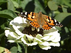 Longmont, CO, Visiting Friends, Butterfly and Flower (names?) (Mary Warren 11.3+ Million Views) Tags: longmontco nature flora plants fauna butterfly white bloom blossom flower