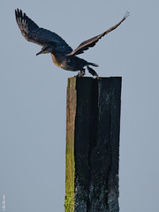 Zeeland-1683 (clickraa) Tags: domburg beach guard kormoran cormorant zeeland walcheren aalscholver strandwachter