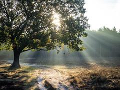 Bussumerheide 2018: Harp of light (mdiepraam) Tags: bussumerheide 2018 bussum westerheide heath earlymorning dawn sunrise tree branch backlight